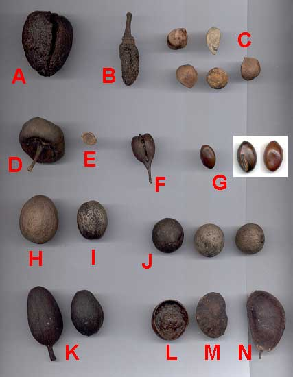 Tree Seeds Identification http://www.seabean.com/locations/DominicanRepublic/
